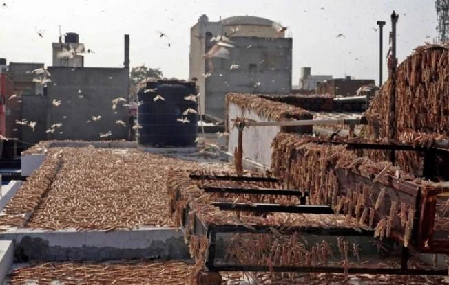 數以百萬計的沙漠蝗蟲4月肆虐巴基斯坦,隨後進入印度的拉賈斯坦邦,首府齋浦爾一處住宅大樓屋頂25日被數不盡的蝗蟲霸占。圖╱GettyImages