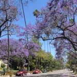 真美!南加州不少社區下起了紫藍色花雨