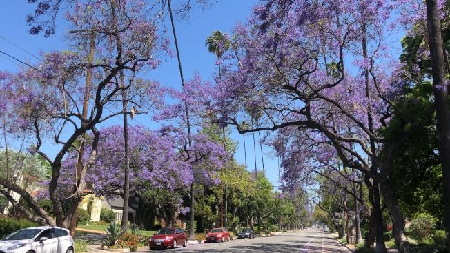 巴沙迪那市街道的藍花楹樹。(記者王若然/攝影)