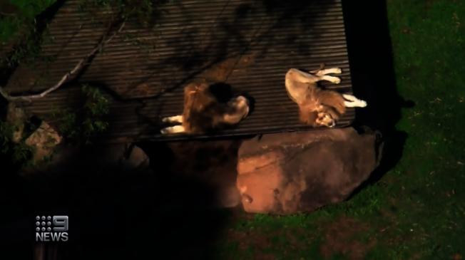 肖爾海文動物園內的獅子園區。畫面翻攝:Nine News