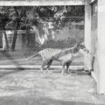已滅絕「塔斯馬尼亞虎」 85年前最後身影曝光