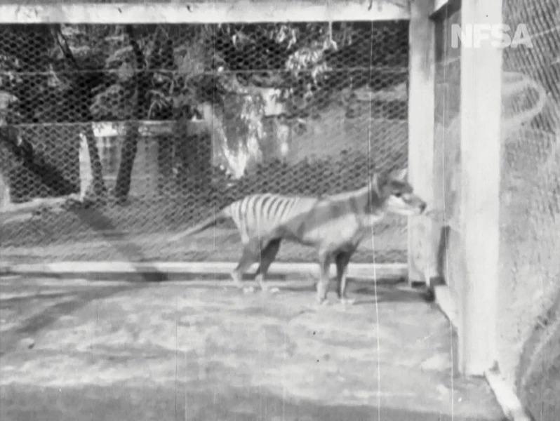 澳洲國家影片與聲音檔案館(NFSA)19日發布,世上最後一隻袋狼「班傑明」的黑白有聲影片,讓外界得以一睹這種已滅絕掠食動物的生前風采。Getty Images