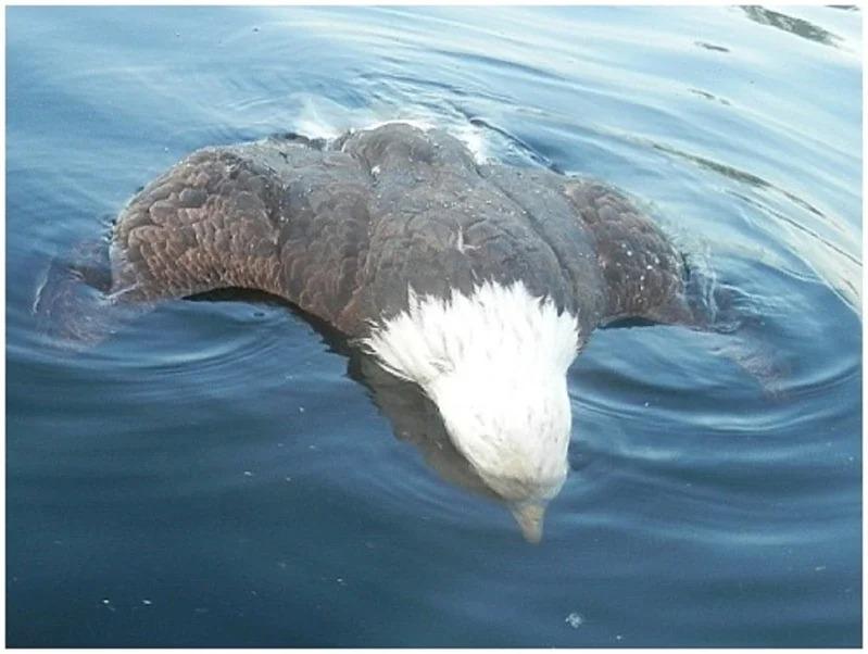 一隻死去的白頭海鵰遺體漂浮在緬因州布里奇頓(Bridgton, ME)的海藍德湖(Highland Lake)湖面,攝於2019年7月26日。儘管很少有人會覺得白頭海鵰對戰潛鳥會落居下風,美國緬因州去年卻發生白頭海鵰被潛鳥「刺死」的離奇事件。翻攝自MDIFW/Nat Woodruff