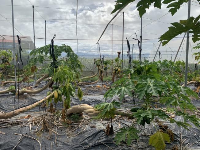 大雨過後,高雄美濃木瓜出現遲滯性損害,損失高達7成,農民苦不堪言,韓國瑜表示,市府農業局會全力協助農民度過難關。圖/高雄市政府提供