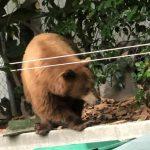 大棕熊 登門造訪亞市前華裔市長