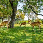 赴日遊客驟減…奈良鹿「排便改善」