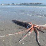 海怪出沒!南非海灘出現4公尺長「大王烏賊」