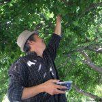 後院近30年的桑樹 竟成「搖錢樹」