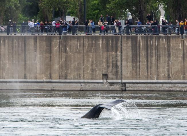 迷航蒙特婁 座頭鯨的死亡錯愕
