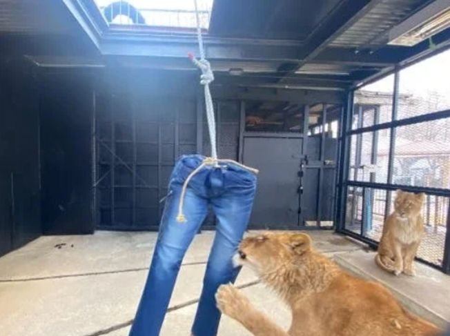 日動物園募資 送獅毀牛仔褲