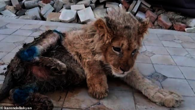 殘忍!幼獅被斷腿供拍照 普亭也震怒