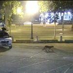 疑咬死動物園袋鼠 山獅橫行金山市中心被捕