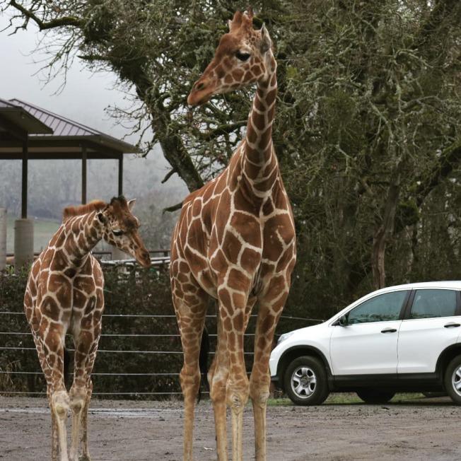 俄勒岡野生動物園的自駕遊備受歡迎。(取自動物園臉書)