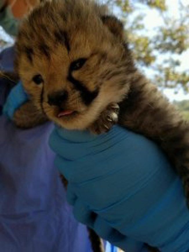 俄勒岡野生動物園有世界聞名的獵豹繁育研究中心。(取自動物園官網)
