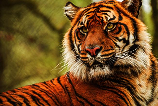 俄勒岡野生動物園的蘇門答臘虎。(取自動物園官網)