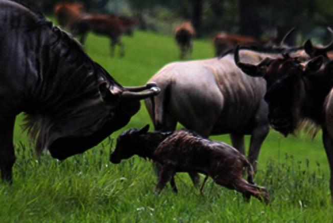 俄勒岡野生動物園的斑角馬。(取自動物園官網)
