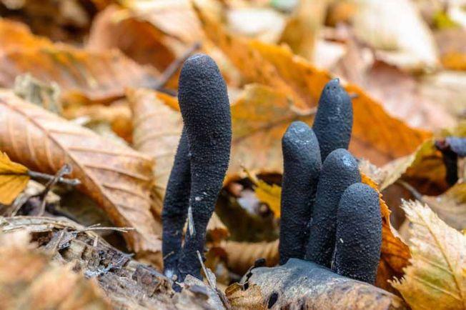 多形炭角菌又被稱作「死人手指」。(Getty Images)