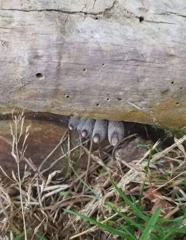 只見5根紫灰色腳趾狀的物體從樹木縫隙中伸出。(取材自推特)