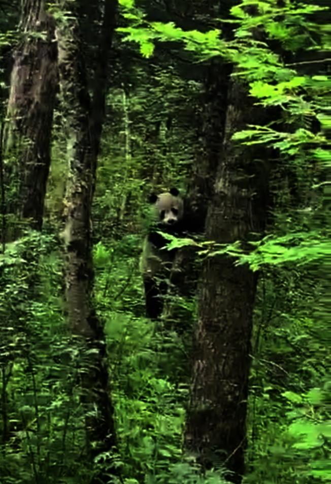 冰凌溝區域自2015年後,首次拍到野生大熊貓的影像。(擷自影片)