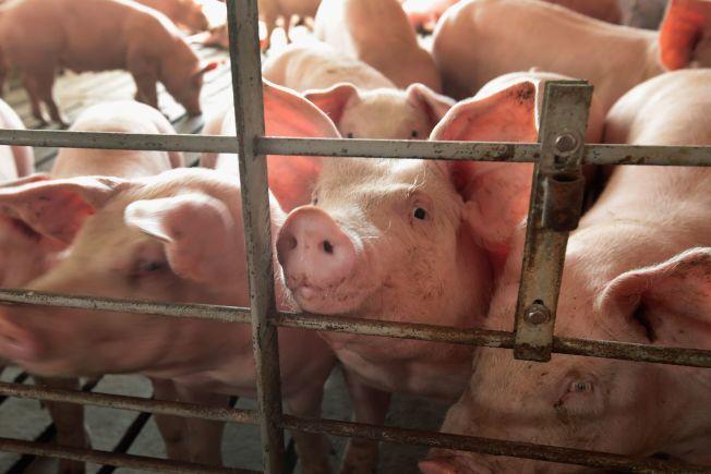 科學家在中國發現一種由豬隻帶原的新型流感病毒。豬隻示意圖。(Getty Images)