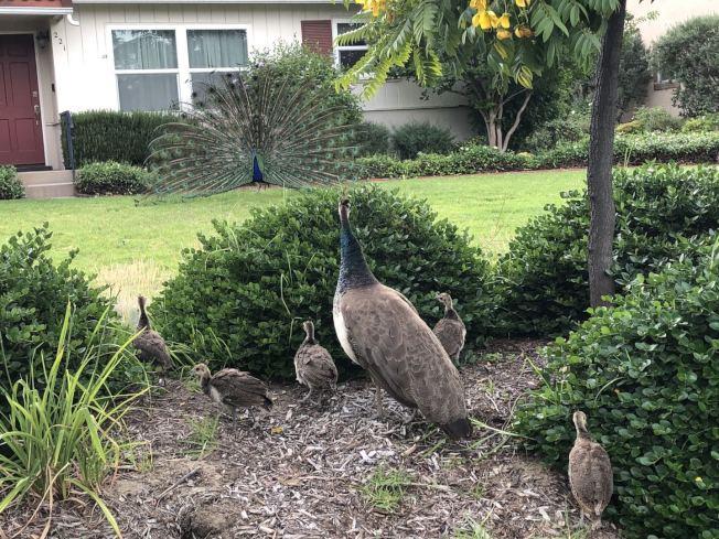 最近孔雀們的活動更加頻繁,孔雀媽媽帶著小孔雀,到各處民宅覓食。(管女士提供)