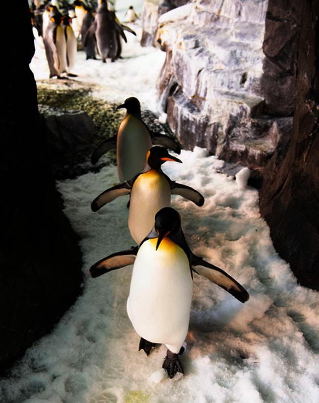 奧蘭多海洋世界的小企鵝在酷暑中帶來一片清涼。(取自臉書官網)