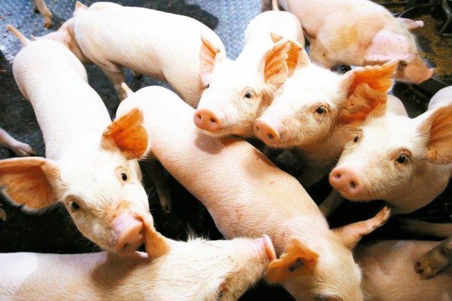 中國發現一種新型豬流感「G4 EA H1N1」。本報資料照片