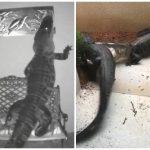 佛州鱷魚頻闖民宅!想吃海龜裝飾品 還在門口打架