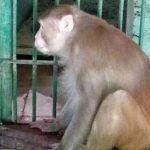 印度「殺人醉猴」攻擊釀1死249傷 悲慘下場曝光
