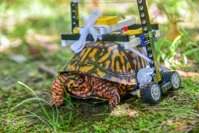 18歲的雄性卡羅萊納箱龜兩年前受傷接受治療,醫療團隊設計一款「樂高輪椅」,幫助牠恢復。(馬里蘭動物園提供)