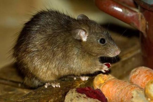 內蒙古4日發現1例疑似腺鼠疫病例。(圖/取自新浪網)