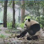 好萌!孔雀亂入地盤跑給熊貓追 四條腿還贏不了兩條腿