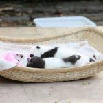 拒食、腹泻 成都2熊猫宝宝死亡