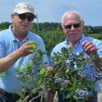 新州水果丰收 蓝莓正当时