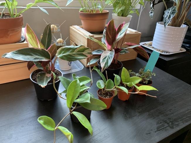 網購室內植物深受年輕人喜愛。(記者李雪/攝影)