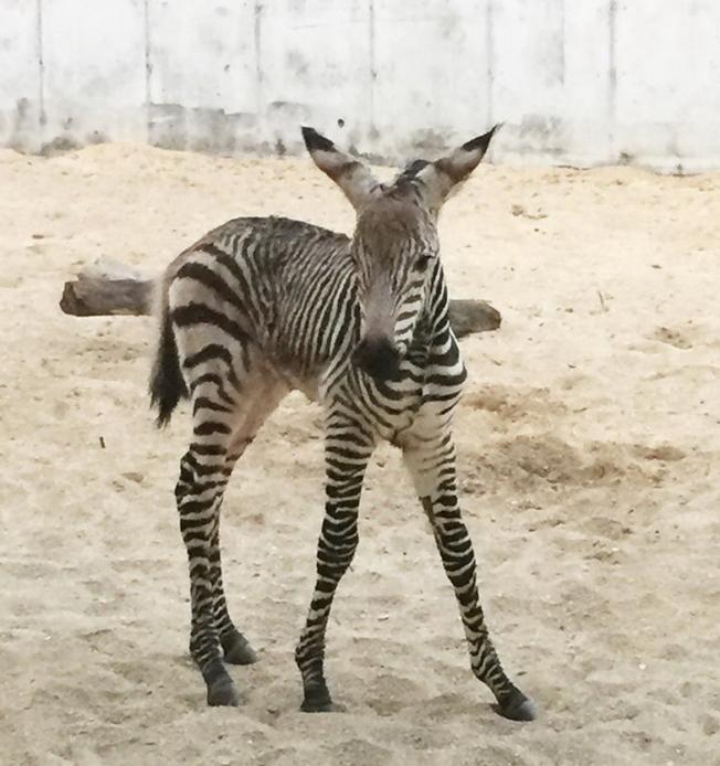迪士尼動物王國的小斑馬。(取自官網)