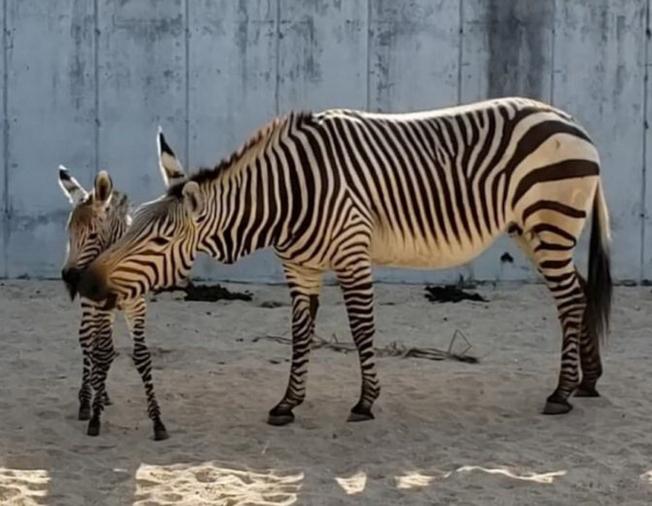 迪士尼動物王國的小斑馬和媽媽。(取自官網)