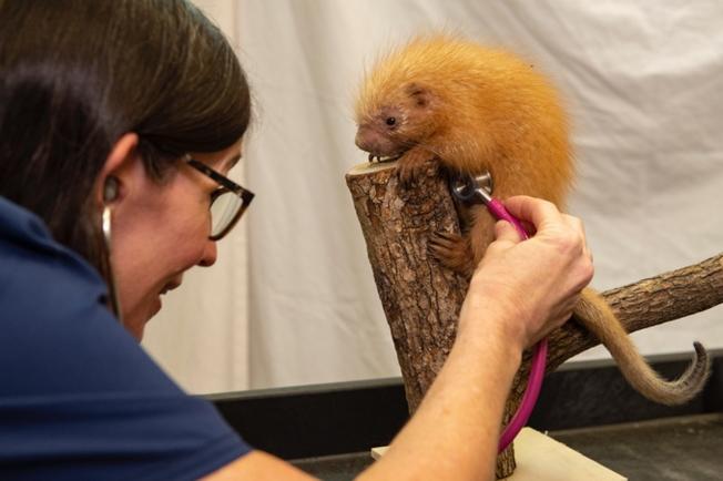 迪士尼世界獸醫納塔莉博士(Dr. Natalie)檢查小豪豬。(取自官網)