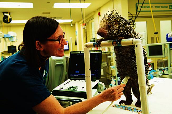 迪士尼世界獸醫納塔莉博士檢查豪豬媽媽Peri。(迪士尼官網)