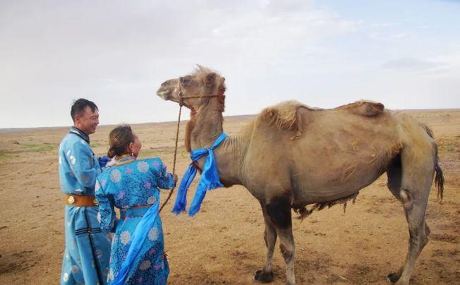 年邁老駱駝被賣逃回家,主人感動決「回購」養到終老。(取材自微信)