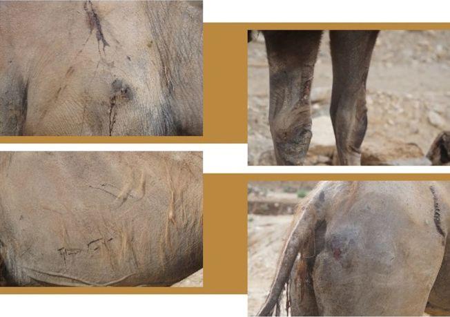 駱駝跋山涉水,身上傷痕累累。(取材自微信)