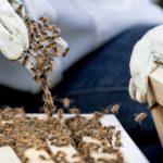 天氣漸變暖 捕蜂需求增 養蜂人被華府認定必要行業