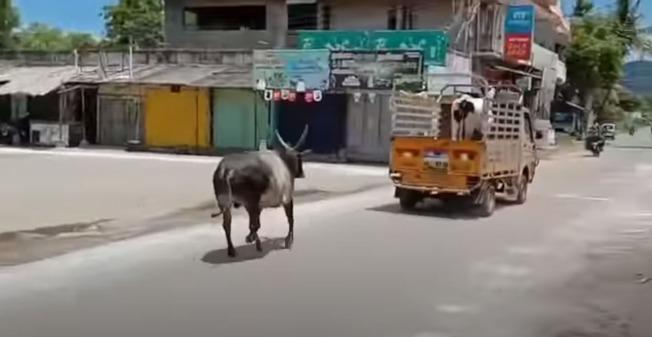 母牛遭賣走 牠為愛追1公里攔車