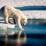 全球暖化難覓食 北極熊80年後恐滅絕