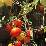 居家避疫種菜種出心得 「番茄熟了幸福滿滿」