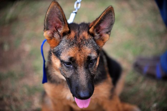 德國牧羊犬。(Getty Images)
