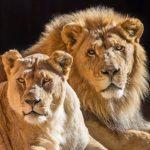 洛縣動物園 21歲獅子伴侶安樂死