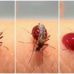 蚊子少了這器官 竟會吸血吸到腹部爆裂