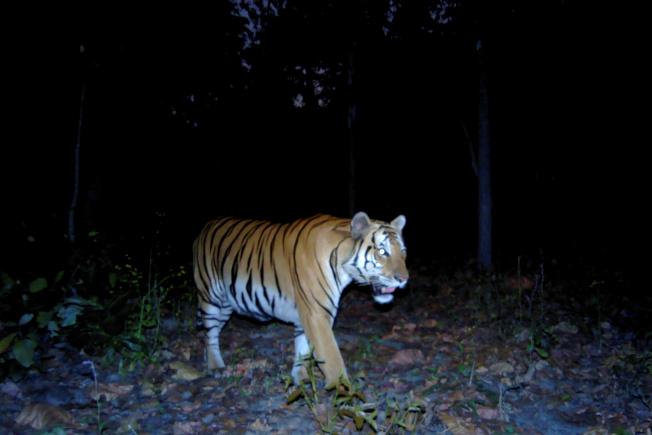 泰國當局在世界老虎日前,釋出了一張年輕野生虎在泰國西部森林覓食的罕見照片。(路透)