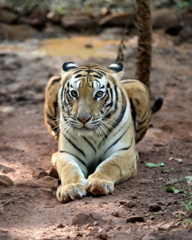 印度野生虎的數量在過去近10年已經成長了一倍。(歐新社資料照片)
